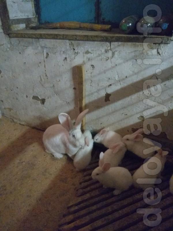 Продаем чистопородный молодняк кролей Белого Великана,порода мясного