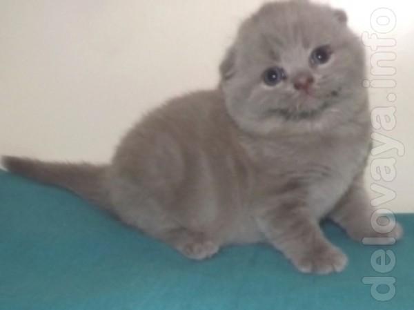 Милые и нежные, славные и любвеобильные шотландские котятки украсят В