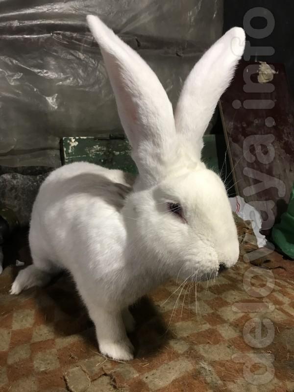 Продам чистопородных кролей белого великана, чисто по белой линии вес