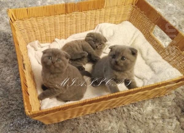 Готовы переехать в новый дом маленькие, плюшевые шотландские котята,