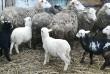Продам овец породы Украинский Меринос на развод. Овцы есть котные и с