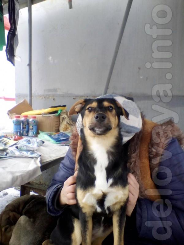 Отдам щенка в хорошие руки, кобель, будет крупным, мощным, уже имеютс
