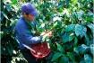 Ароматный и насыщенный элитный кофе Сальвадор уже давно покорил сердц фото № 1
