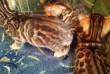 Бенгальские котята, родились 03.04.2019. маленькие гепардики ждут вас