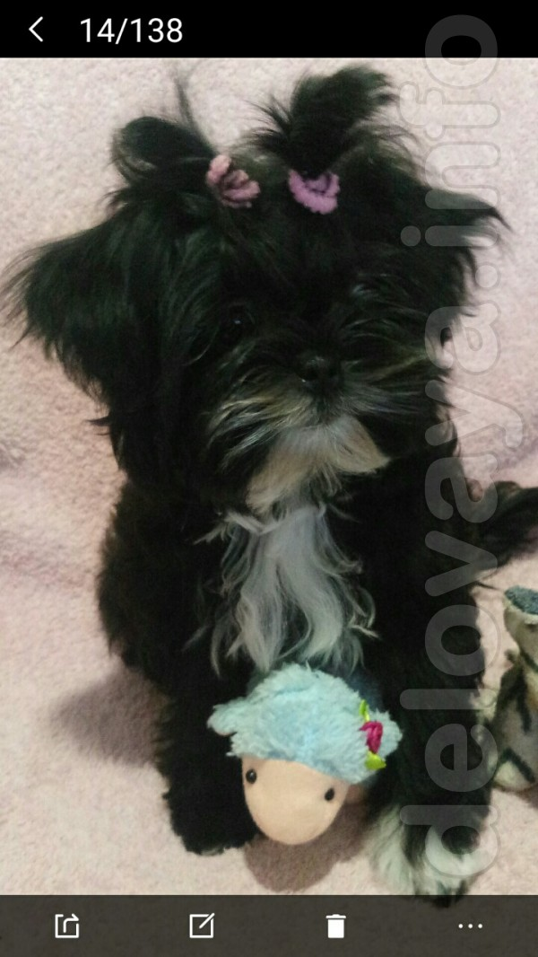 Продам Ши-тцу, девочка, 5 мес. Сделан международный ветеринарный пасп