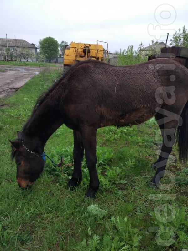 Продам коня, украинский верховой, масть гнедая, возраст 4 года, цена