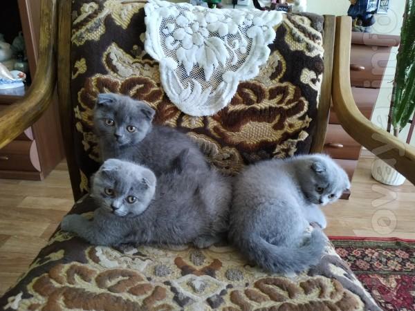 Чистокровные шотландские котята девочки с хорошей генетикой и констит