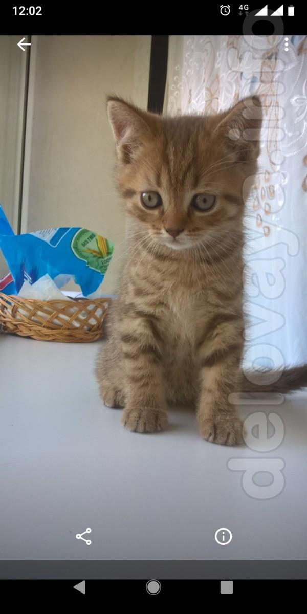 Продам шотландского чистокровного прямоухого котенка. Красивый окрас.