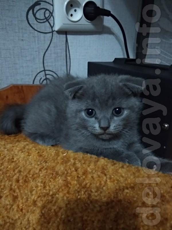 Продается шотландский  вислоухий котик . Окрас серо-голубой. Родился