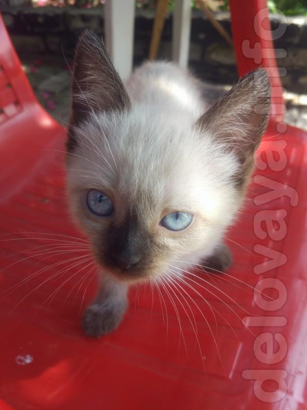 Милое создание с голубыми глазками. Игривый котенок готов к переезду
