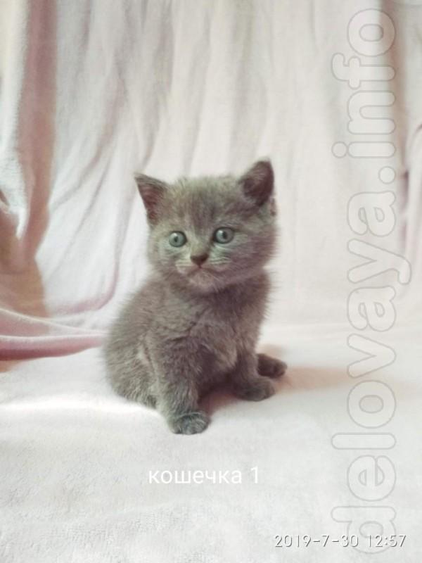 Продам котят порода: Скоттиш страйт  (шотландская прямоухая кошка).Ро