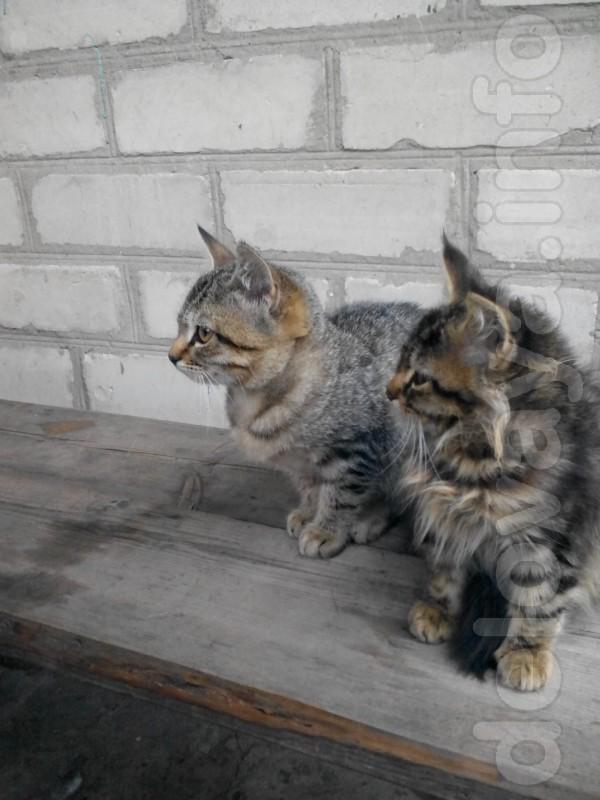 двое котят.девочки.отдам даром