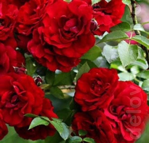 Выращиваем и продаем отличные саженцы роз в ассортименте: плетистые,