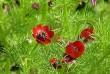 Адонис цветы