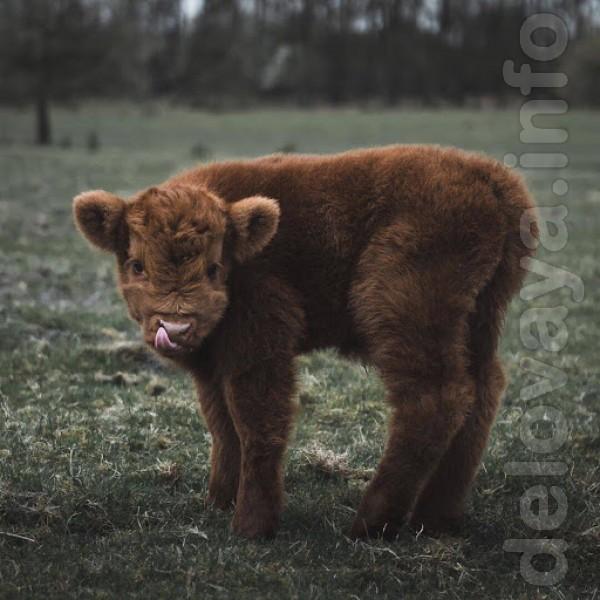 Куплю молодых бычков до 10-ти дней!