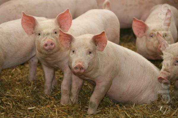 Предлагаем поросят на откорм со свинокомплекса. Только опт! Не продае