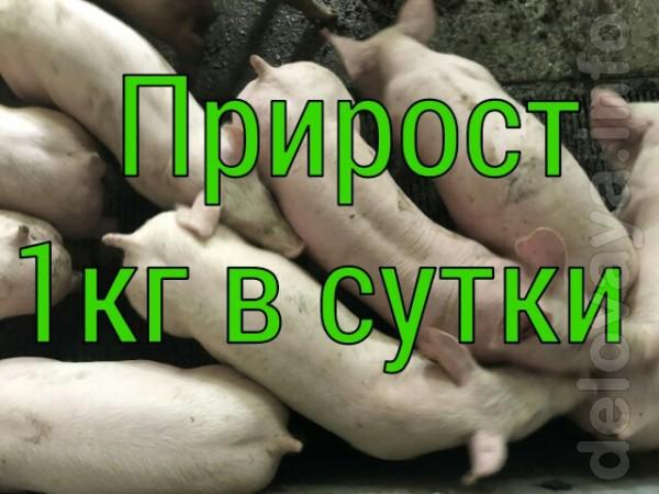 Пропонуємо поросят на відгодівлю зі свинокомплексу. Тільки опт! Ми не