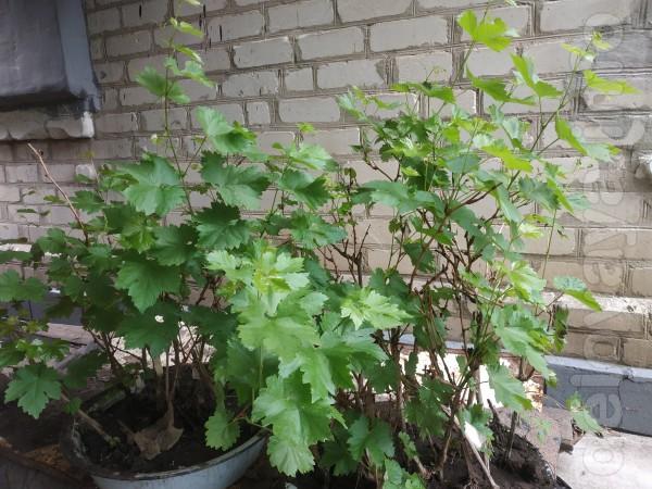 Продам двухгодичные саженцы винограда Кодрянка  по 20 гр. куст. Лисич