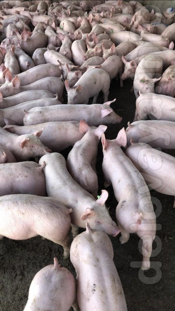 Свинокомплекс реалізує поросят на відгодівлю партіями від 100 голів.