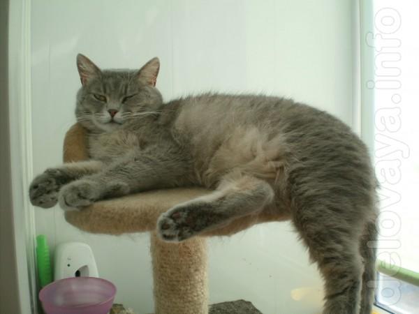 Бусинка, молодая кошечка 1,5 года. Полукровка - британочка. Стерильна