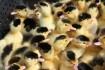 Продам суточные цыплята бройлеры КОББ 500 ( цена-17грн), муларды. Зап фото № 1