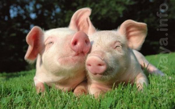 Продам поросят мясной породы возраст 1 месяц 1 неделя папа Дюрок, мам