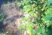 побеги высотой 40 см - 1.5 м. уже дали второй урожай (на фото ). обык фото № 3