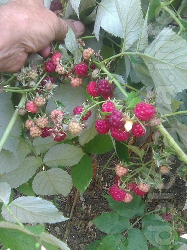 побеги высотой 40 см - 1.5 м. уже дали второй урожай (на фото ). обык