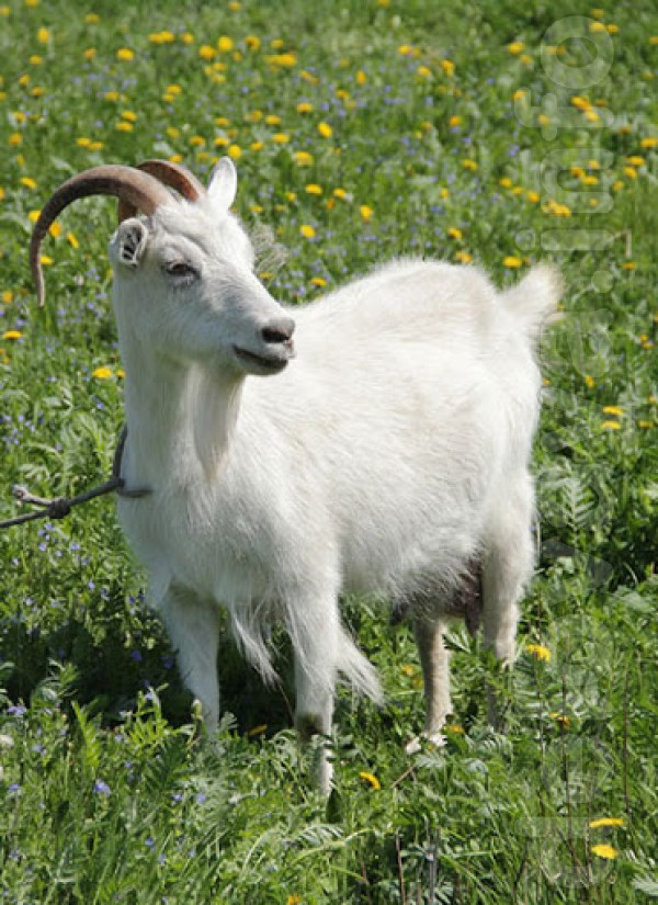 куплю коз живым весом 10 грн кг