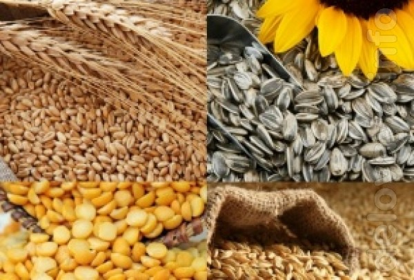 Куплю зерновые оптом - пшеницу, кукурузу, ячмень, кукурузу. Работаем