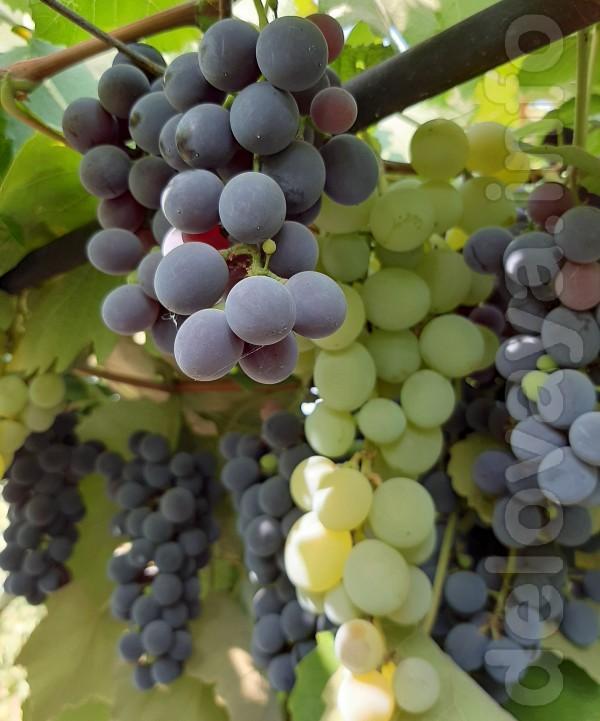 Продам виноград винных сортов Изабелла и Лидия