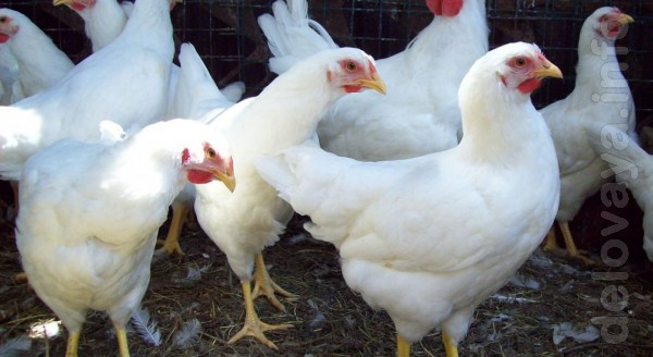 Курица молодка Ломан-Браун возраст4,5мес-170грн/шт. Легорн 1.5года-60