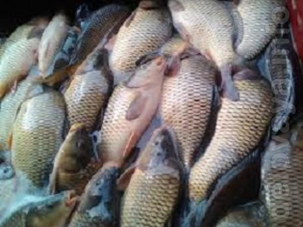 Продам живую рыбу со всеми документами. Карп 1,2-1-6кг - 60 грн/кг с