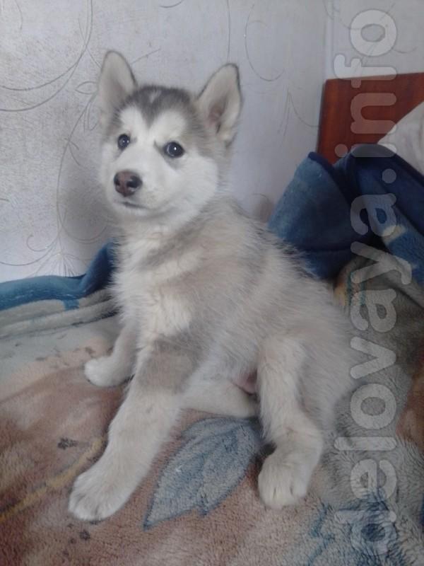 Продам очень красивого аллиментного щенка Сибирской хаски.Мальчик.Род