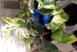 Продам цветы, росточки фикуса