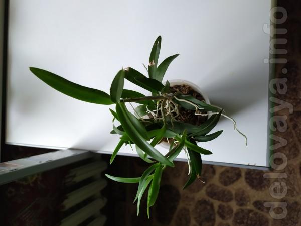 Продам коллекцию дендробиумов (8 шт.) Молодые растения. Разновидность