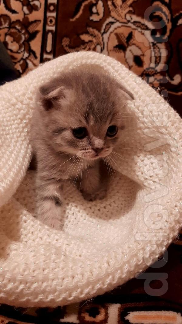 Продам чистокровных котят с хорошо набитой шубкой, есть мальчики и де
