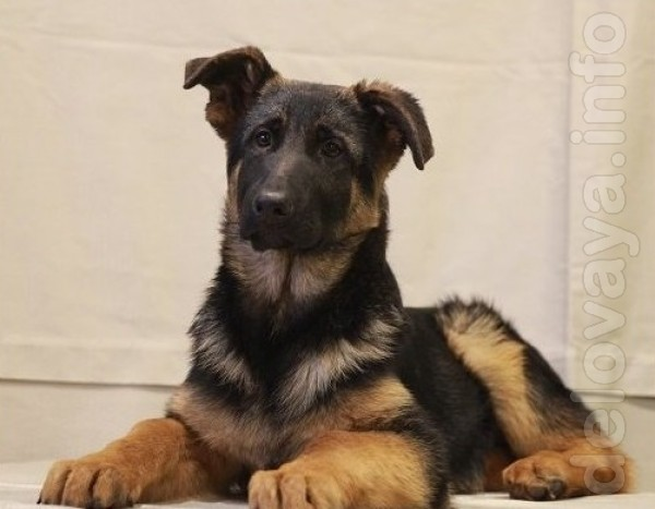 Профессиональный питомник DOG PATROL. Щенки отлично выращены, очень о