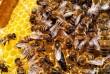 Пчелиные матки Карпатской породы собственного вывода. Без посредников