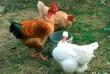 Инкубационное яйцо кур мясо-яичных,голошейки,мастер грей,фокси чик