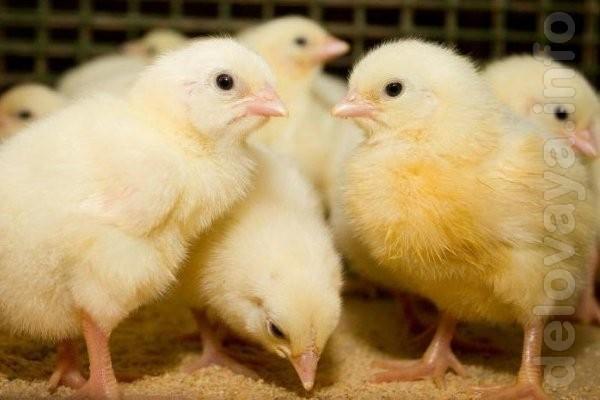 Инкубационное яйцо Бройлеров  КОББ 500,  РОСС 308,  РОСС 708 (  Венгр