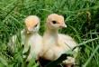 Инкубационное яйцо уток ( Голубой фаворит, Стар 53, Башкирка, Черри В