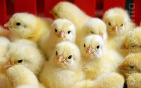 Продам цыплят подрощенных  и  суточных: - бройлер КОББ 500 - несушка,