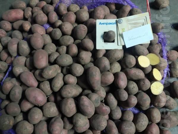 Агро підприємство реалізує товарну картоплю та картоплю насіннєву вла