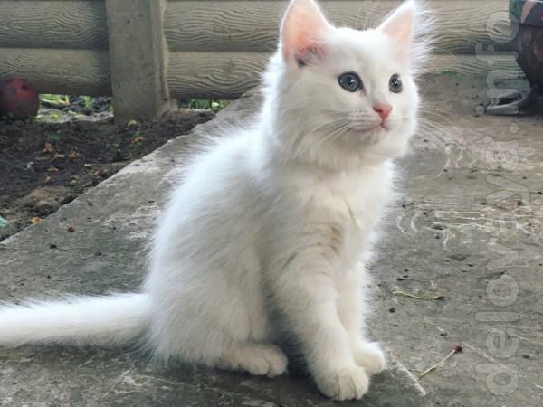 Умная, белая кошечка, к горшку приучена, возраст 2 месяца