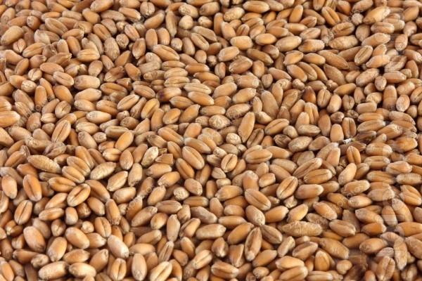 Продам зерно со склада. Всегда есть в наличии Пшеница 7,00, ячмень 7,