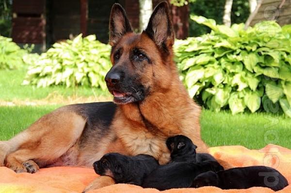 Продам щенков Немецкой Овчарки окрас чупрачный, чистокровные, цена 15