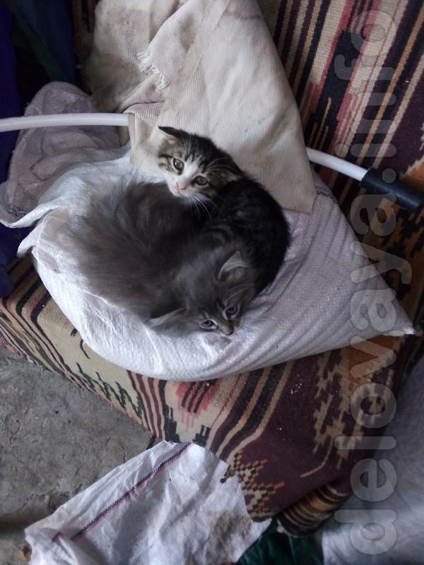 Отдам в хорошие руки красивых пушистых котяят серого окраса