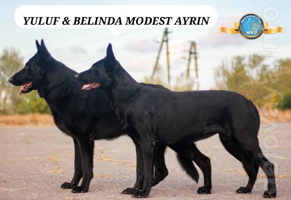 Питомник'MODEST AYRIN UA'открыват бронь на щенков восточноевропейской