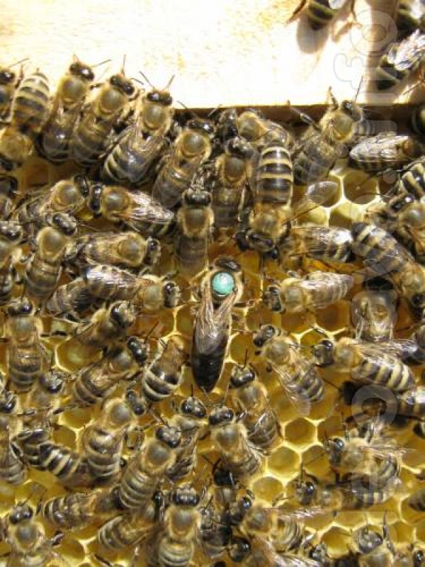 Пчелопакеты и пчелиные плодные меченые матки - молодые, высокопродукт